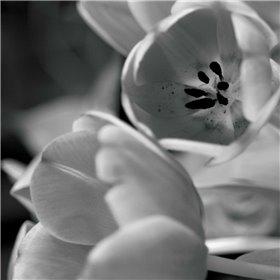 BW Tulips I