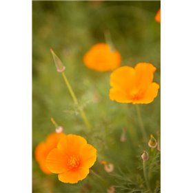 California Poppies II