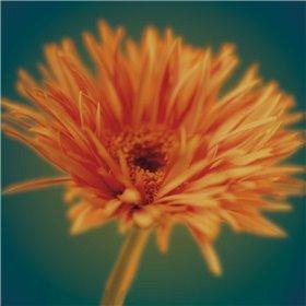 Chrysanthemum on Turquoise