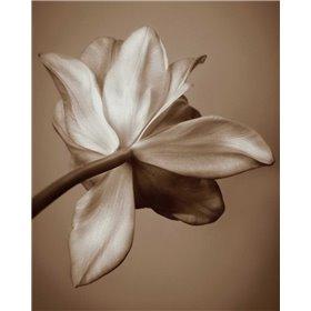 Moonlight Tulip