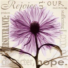 Rejoice - Violet Chrysanthemum