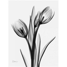 Tulips H37