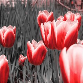 Red Tulips I