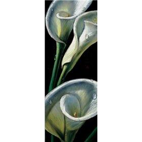 Dewdrop Callas