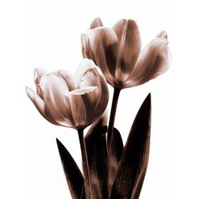 Tulip in Sepia II