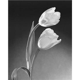 Tulip Duo