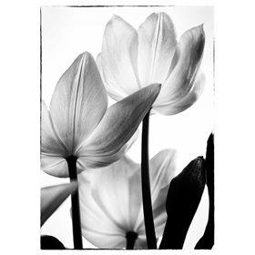 Translucent Tulips III