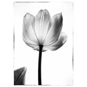 Translucent Tulips I