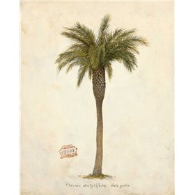 Date Palm Illustration