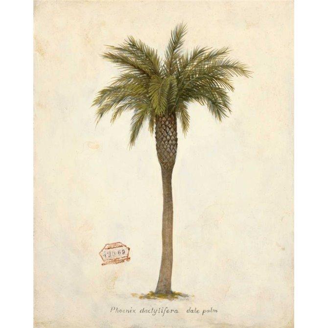 Date Palm Illustration