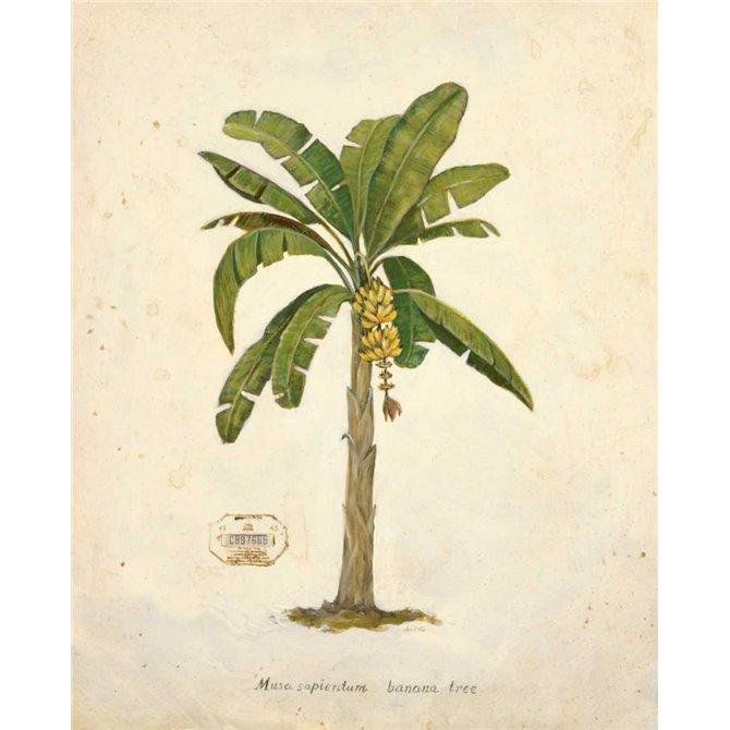 Banana Palm Illustration