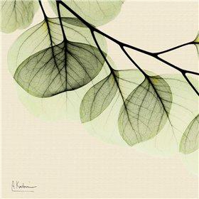 Mint Eucalyptus 3