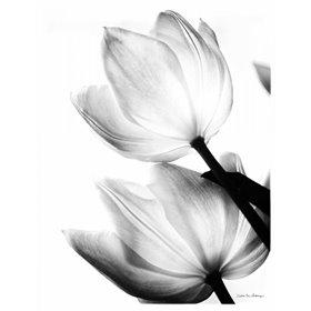 Translucent Tulips II no border