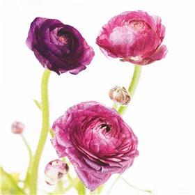 Spring Ranunculus I