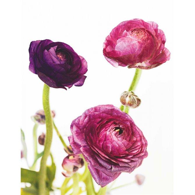 Spring Ranunculus V