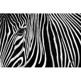 Zebra in Lisbon Zoo