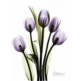 Regal Tulip B13