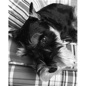 Schnauzer Black and White