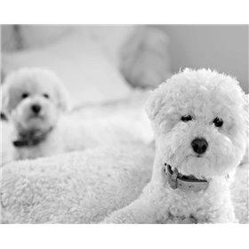 Bichons Black and White