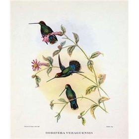 Dorifera Veraguensis