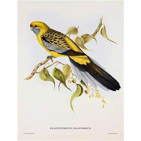 Platycercus Derbianus