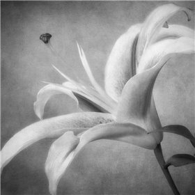 Black and White Lily 4
