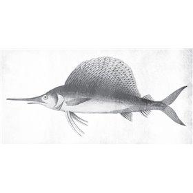 Grey Sword Fish