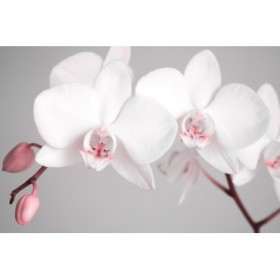 2561951-R- Flores blancas