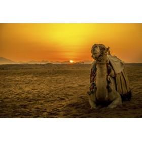 Camello y puesta de sol en Egipto- 101252192