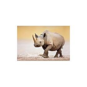 19414607-Black Rhinoceros walking on salty plains of Etosha. 7 tamaños disponibles
