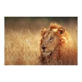 21103316-Big male lion lying in dense grassland - Kruger National Park - South Africa
