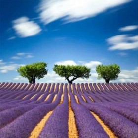 33413288 / Cuadro Lavande Provence France