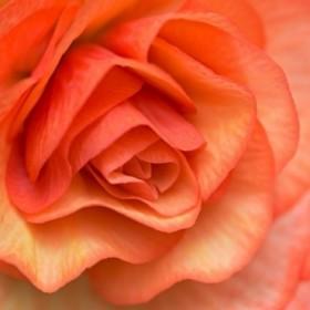 Orange Ruffles III
