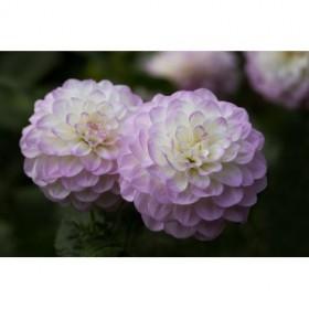 Lavender Dahlia IX