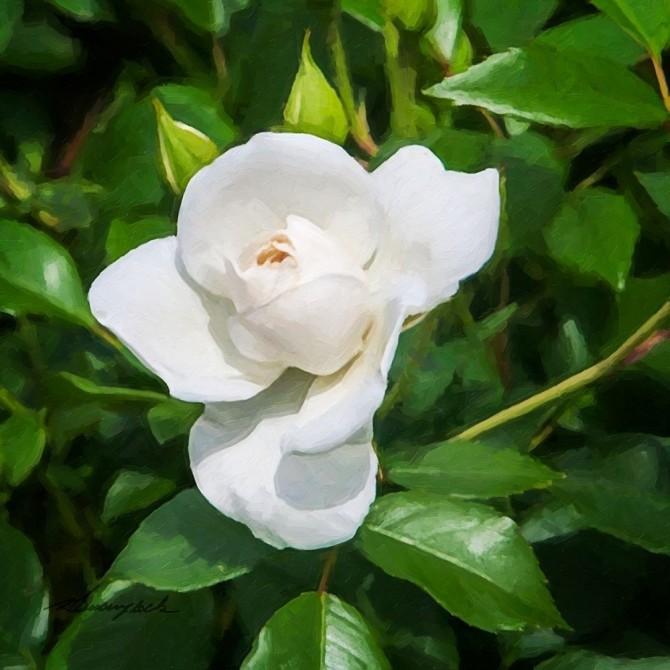 A Single Rose III