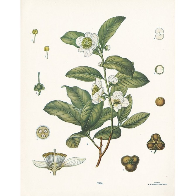 Tea Botanical