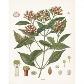 Clove Botanical